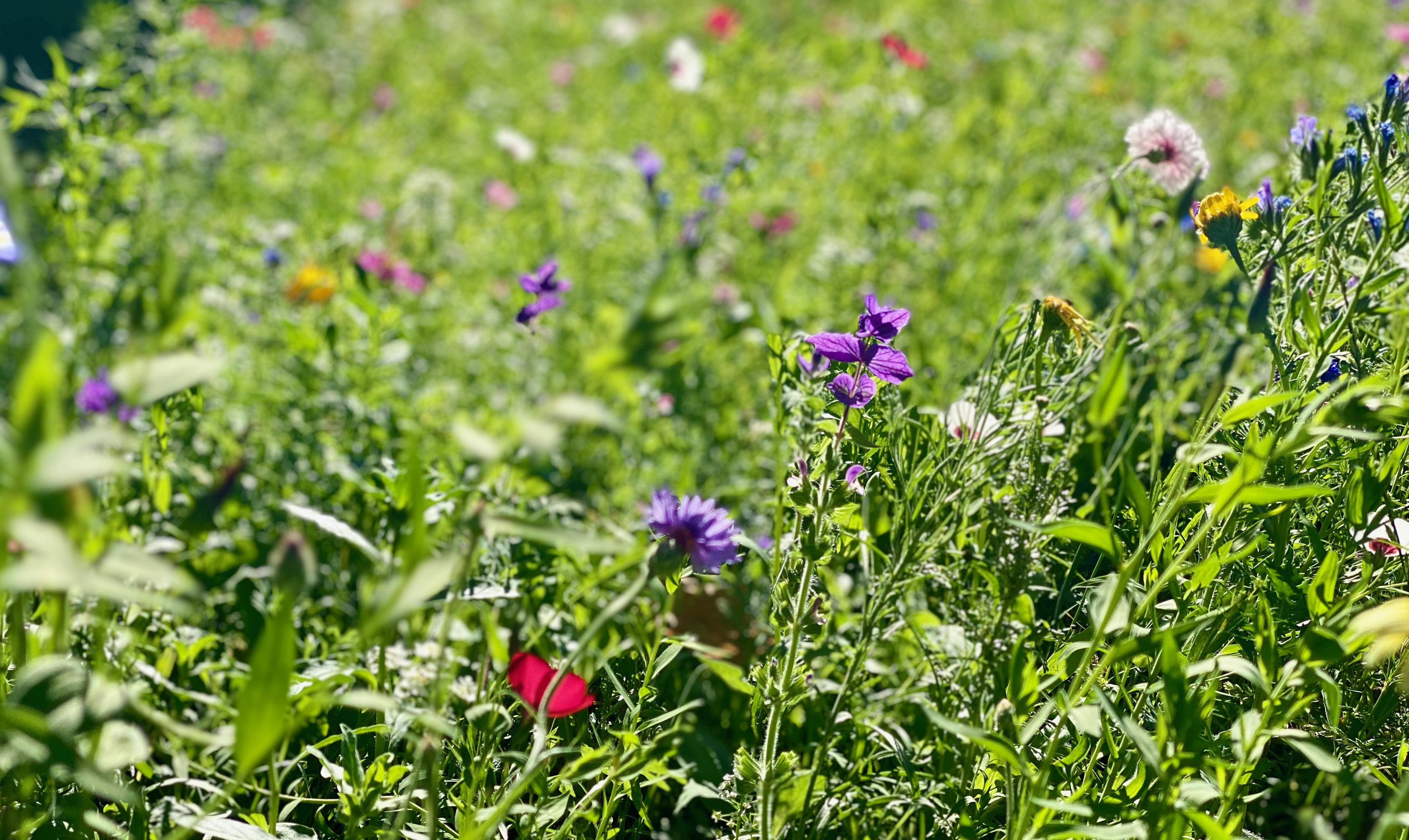 Wildblumen auf der Schulwiese